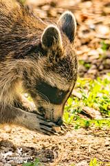 Raccoon IOW (SLHPhotography1990) Tags: 2018 iow july zoo isle wight raccoon eating foraging
