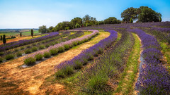 Lavender... (L A H Photography) Tags: lavender flowers landscape lumixg9 colourful countryside beautiful foliage england trees