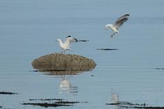 Budge up! (jillyspoon) Tags: seagulls landing seaside coastal water sea oceans bird birdlife interaction budgeup rock landingperch perched place share monreith scotland dumfriesandgalloway reflection explore