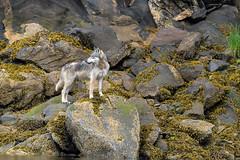Gray Wolf (lifewild2010 (Patrick A. Martin)) Tags: gray wolf graywolf lupus canislupus nikon nikond5 d5 600mm f4 nikor600mmf4 wildlife