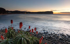 Sunrise Seascape and Aloe Vera in Flower (Merrillie) Tags: daybreak landscape sunrise aloevera flowers nature water dawn macmasters centralcoast morning sea newsouthwales rocks earlymorning nsw plant clouds ocean flora cloudy waterscape coastal macmastersbeach outdoors seascape australia coast sky waves