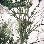 eaglet in nest thumbnail