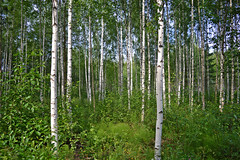 Birch forest. Sysmä, Finland. Summer. (L.Lahtinen (nature photography)) Tags: summer finland birchforest sysmä beauty nature naturephotography koivumetsä europe luontokuvaus colours wood landscape trees metsä landscapephotography scenery walk