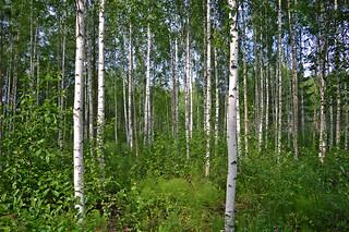 Birch forest. Sysmä, Finland. Summer.