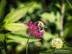 Bumblebee (Roelofs fotografie) Tags: wilfred roelofs nikon d5600 2018 nature natuur neterlands holland dutch adobe animals bugs flower flowers fotgrafie foto picture photoshop color cozy outdoor bumblebee macro