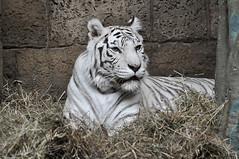 White Bengal tiger / Panthera tigris bengalensis / Бенгальский тигр (белая особь) (SerenitySS) Tags: фауна fauna животное animal зоо zoo млекопитающие mammalia хордовые chordata тигр pantheratigris пантеры panthera кошачьи felidae хищные плотоядные carnivora зоопарк coth specanimal alittlebeauty coth5