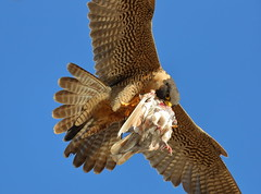 Xena prepares aerial food transfer to the fledgling (charlescpan) Tags: peregrine falcon food transfer