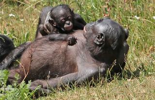 bonobo apenheul JN6A5205