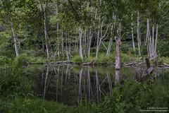 Reflections (BobbyFerkovich) Tags: pond water golden gardens seattle trees grass green duck serene calm sonya7riii
