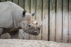kibbibi the rhino - Cleveland Zoo (Tim Evanson) Tags: clevelandzoo clevelandmetroparks clevelandmetroparkszoo clevelandohio zoo dicerosbicornismichaeli easternblackrhino rhino blackrhino
