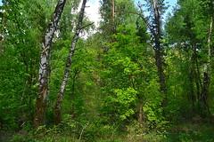 Oaks in the birch stand (МирославСтаменов) Tags: russia togliatti oak birch tree forest
