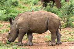 A young White Rhinoceros (Kev Gregory (General)) Tags: young white rhinoceros or square lipped ceratotherium simum already with resident oxpecker his mother close by background madikwe national park game reserve south africa