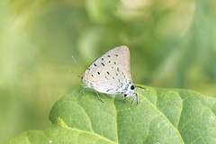 Pseudolycaena marsyas (fabriciodo2) Tags: pseudolycaenamarsyas papillon butterfly macro nature sigma150 mexique xenote