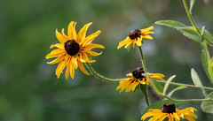 summer flowers (long.fanger) Tags: centreville virginia blackeyedsusans insects utilityeasementarea wildflowers