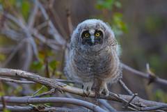 Long eared Owlet (Khanh B. Tran) Tags: