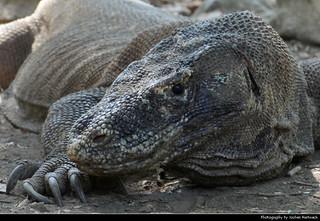 Komodo Dragon, Komodo NP, Indonesia