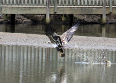 Juvenile eagle with duck (John's Love of Nature) Tags: baldeagle haliaeetusleucocephalus johnsloveofnature lakelynn johnkelley