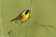 Common Yellowthroat - Jul-08-2018 (9-1) (JPatR) Tags: 2018 commonyellowthroat illinois july muirheadspringsforestpreserve summer bird nature warbler wildlife