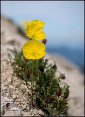 Papaver alpinum L. subsp. rhaeticum (Enrico Moser) Tags: trentino dolomiti altoadige estate flora flowers flores summer verano giallo