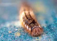 Euthrix potatoria, Drinker Moth Caterpillar (Dave Denby) Tags: drinker moth caterpillar euthrix insect