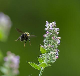 bumble bee circling the catnip