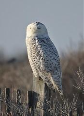 Snowy Owl (Bubo scandiacus) 01-09-2018 Assateague SP--Campground, Worcester Co. MD 5 (Birder20714) Tags: birds maryland owls strigidae bubo scandiacus mbpready