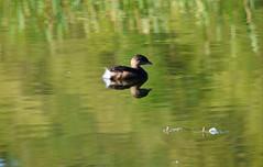 Grebe (careth@2012) Tags: duck grebe careth2012 nature wildlife britishcolumbia lake reflection reflections fantasticnature