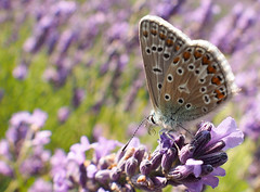 Silver studded blue on lavender - view large (#Dave Roberts#) Tags: butter butterfly indsect july 2018 surrey wildlife uk fisheye