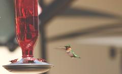my first ever shot of a hummingbird!! such beautiful birds😍 (katlyn.wallis) Tags: pretty birds birdwatching birdfeeder bird hummingbird canada ontario