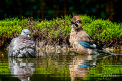 Taking a bath together (Jaap Mechielsen) Tags: kraaienengaaien wildlife bird boshutgarderen houtduif fauna duiven gaai animal columbapalumbus columbidae commonwoodpigeon corvidae dier eurasianjay garrulusglandarius jay meerkol pigeons schreeuwekster vlaamsegaai vogel garderen gelderland nederland nl
