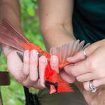 Fisheries, Wildlife and Conservation Biology student practices bird banding with the NC Wildlife Commission