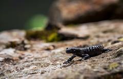 Salamandra atra (Tomas_K) Tags: alpine salamander black mander salamandra atra mlok alpský alpsky