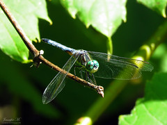 Blue Dasher IMG_6744 (Jennz World) Tags: ©jennifermlivick mountpleasantnaturepark mountpleasant mtpleasant ontario canada dragonfly damselfly