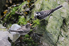 Pied Wagtail (yarellii) feeding, Howth, Ireland, May 2018 (Sterna999) Tags: whitewagtailyarellii motacillayarellii piedwagtail bachstelze trauerbachstelze motacillaalbayarellii chick küken birdfeeding bird feeding vogel madár dublin ireland irland howth