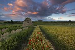 Fields in spring (explore) (Rafael Díez) Tags: españa larioja ollauri paisaje atardecer sunset nubes guardaviñas rafaeldíez filtro primavera amapola campos trigo flor