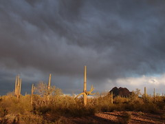 Ironwood Forest National Monument (lars hammar) Tags: ironwoodforestnationalmonument nationalmonument marana arizona desert cactus saguarocactus