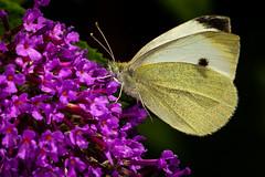 Large White Butterfly (Chris-Henry) Tags: castleespie wild wildlife nature bug countydown northernireland ireland colour reserve wwt wildfowlandwetlandstrust