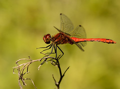 Ruddy Darter ( Male ) (Severnrover) Tags: ruddy darter dragonfly dragon male insect macro photography