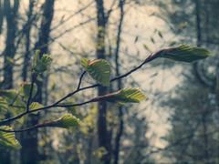 spring leaves
