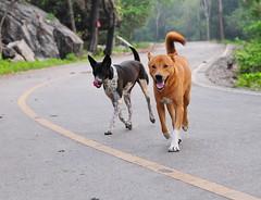 ,, 2 Happy Dogs ,, (Jon in Thailand) Tags: dog dogs k9 k9s happydogs 2happydogs jungle mangroveswamp themonkeytemple rocky legsthezoomer thezoomer mrrocky yellow red green nikon d300 nikkor 70300vr runningdogs dogsmile dogears dogtongue dogtail dogeyes dognose 2peasinapod littledoglaughedstories