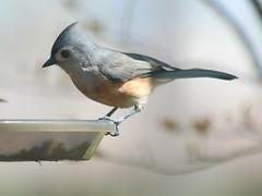 Newcomer To My Yard (Kaptured by Kala) Tags: baeolophusbicolor tuftedtitmouse graybird garlandtexas closeup outsidemywindow finchfeeder birdseed newcomertomyyard