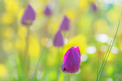 Feels like summer (Karsten Gieselmann) Tags: 40150mmf28 blumen blüten bokeh dof em5markii frühling gelb grün jahreszeiten lila mzuiko microfourthirds natur olympus pflanzen schärfentiefe tulpe blossom flower green kgiesel m43 mft nature purple seasons spring tulip violett yellow