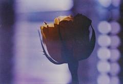 (von8itchfisk) Tags: olympus om10 35mm film filmisnotdead ishootfilm expiredfilm fuda ga100 rose flower flowercandy flowerporn nature bokeh vonbitchfisk analog