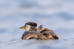 Hitchhikers (Peter Stahl Photography) Tags: gainford alberta canada ca redneckedgrebe grebe summer water
