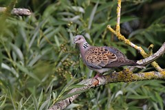 The Turtle Dove (Streptopelia turtur) (GrahamParryWildlife) Tags: global 150600 sport sigma mk11 mk2 7d canon parry graham grahamparrywildlife kentwildlife outdoor bird great detail feather kent the turtle dove streptopelia turtur caught act tree sky animal leaf forest appledore fairfield