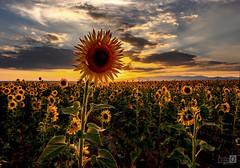 El Rey Sol (JoseQ.) Tags: flor girasol nubes cielo planta campo paracuellos sol colores puestadesol tarde