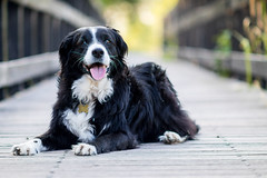 A Walk First Thing (Captain192) Tags: dog dogs collie spaniel bordercollie spanielcolliecross sprollie footpaths canals grandunioncanal bridge footbridge wooden manualfocus adaptedlenses nikon105mmf25ais