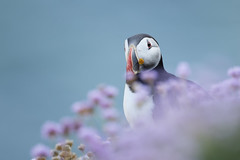 Puffin (Daniel Trim) Tags: fratercula arctica atlantic puffin bird birds birding amongst thrift with flowers purple saltee island ireland nature wildlife photography animal pink
