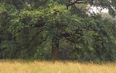 The old Tree and the blazing Sea of Grass (Netsrak) Tags: baum bäume dunst europa europe landschaft meindorf natur nebel sieg fog haze landscape mist