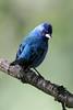 Indigo BuntingA53F1359 (~ Michaela Sagatova ~) Tags: dundasvalley birdphotography canonphotography indigobunting michaelasagatova